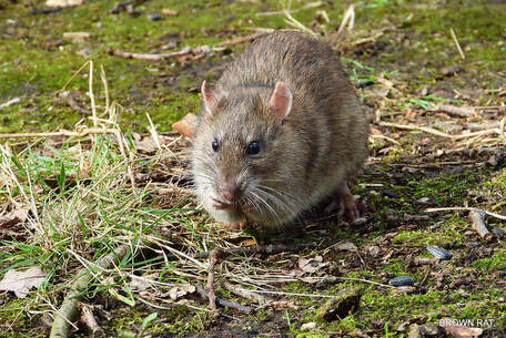 Rodent Infestation and Removal Elk Grove Pest Control